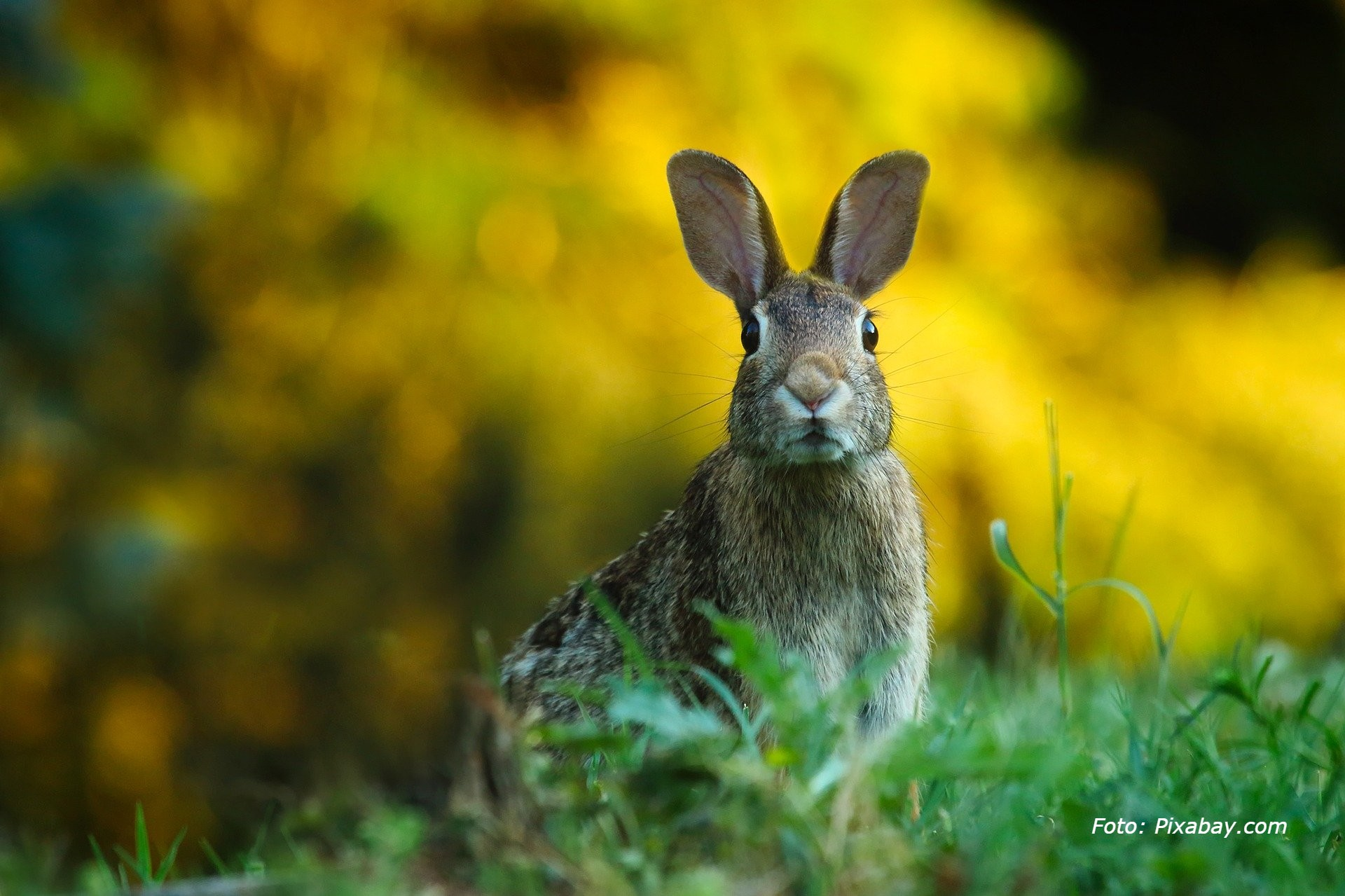Foto av en grå hare som sitter i gresset