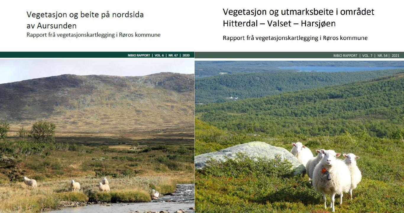 Illustrasjon med to fot av sauer som beiter i fjellandskap